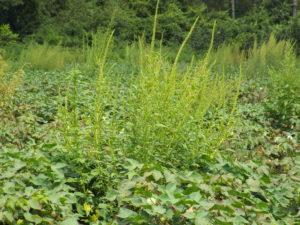 Herbicide-resistant Palmer amaranth.