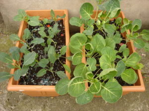 Two flourishing container gardens!